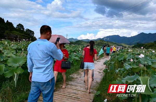 7月28日至29日,邵阳市绥宁县插柳荷花节在关峡苗族乡插柳村火热举行.